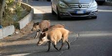 Wildschwein-Invasion macht Rom zu schaffen