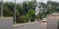Schwan-Familie überquert Straße und sorgt für Stau