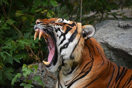 In einem russischen Zoo wurde ein Kind durch das Sicherheitsgitter von einem Tiger attackiert.