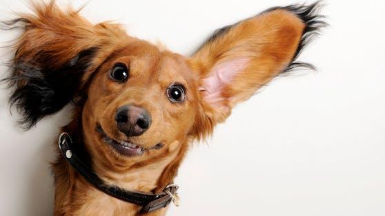Knuffig, lustig und klug sind alle Hunderassen - doch welche sich besonders für Anfänger eignen, liest du hier.