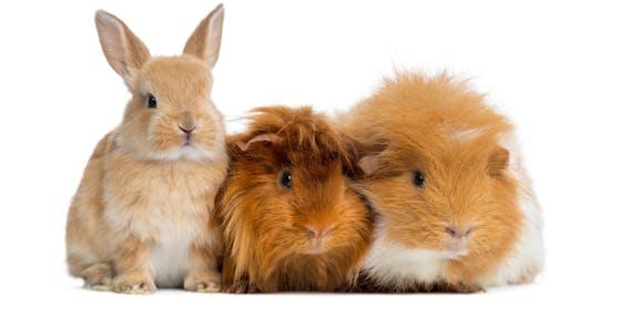Ein Kaninchen und zwei Meerschweinchen wurden mit einem Zettel vor der Wohnungstür abgestellt. (Symbolbild)