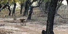 Hund gegen Löwin! Mit DIESEM Ende hat niemand gerechnet