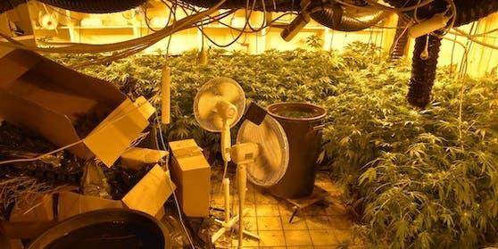 Mit dieser Cannabiszucht soll der Lenker in Verbindung stehen