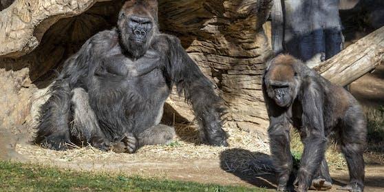 Die Gorillas im Zoo von San Diego haben Corona