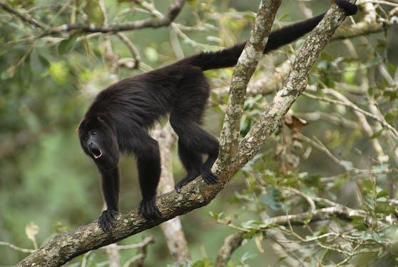 Ein schwarzer Affe schlich sich in ein Haus in Malaysia und verletzte ein zweimonate altes Baby schwer.
