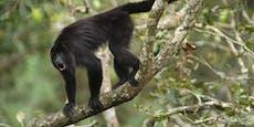 Säugling durch Affen-Attacke schwer verletzt