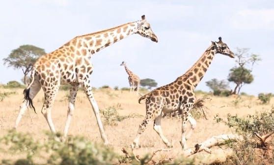 "Auf den ersten Blick glaubt man bei Giraffe ""Gimli"" man sähe ein Giraffenkalb."