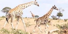 Zwergenwuchs bei zwei Giraffen lassen Forscher staunen
