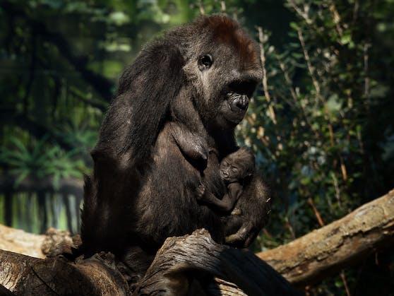 Im Safari-Park von San Diego (Kalifornien) erkrankten nun mehrere Gorillas an Corona.