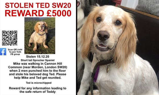 Springer Spaniel Ted wurde am 15. Dezember 2020 gestohlen.