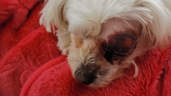 Ladys Auge muss nach dem Tritt operativ entfernt werden.