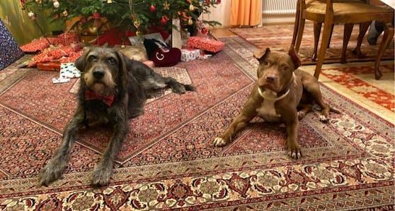 """Staffordshire-Hündin """"Baby Bea"""" (rechts) musste Schlimmstes erleben - nun darf sie ihre Vergangenheit vergessen."""