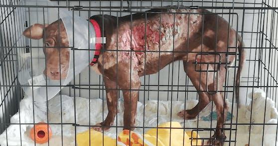"""So wurde die arme Hündin gefunden! Tierärzte vermuten, dass """"Baby Bea"""" mit Säure verätzt wurde."""