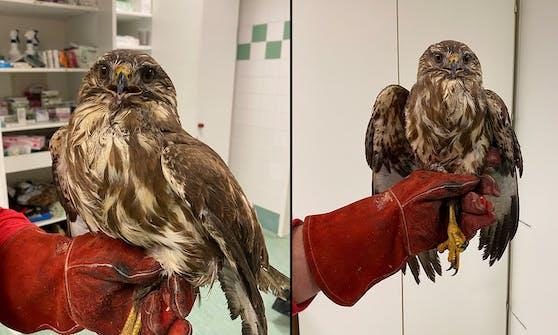 Der Raubvogel hatte großes Glück und kann bald wieder in die Freiheit.