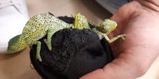 Nachwuchs bei den Schmuggel-Chamäleons aus den Socken