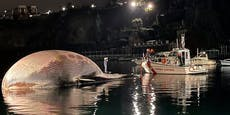 Bisher größten Walkadaver im Mittelmeer entdeckt