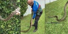 Gärtner entdeckte riesigen Python in der Hecke
