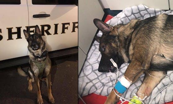 """K9-Polizeihund """"Arlo"""" hat zwei Schüsse überlebt."""