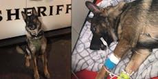 """Polizeihund """"Arlo"""" kämpft sich zurück ins Leben"""