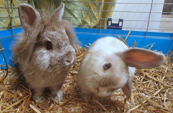 """Das arme Kaninchen hat die """"Sterngucker-Krankheit""""."""