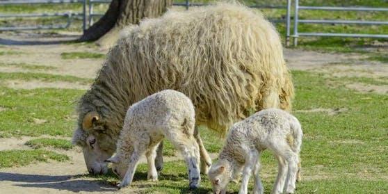 Archivfoto: Ein Schaf und zwei Lämmer im Streichelzoo.