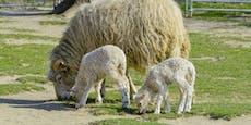 Unbekannter schlachtet zwei Schafe im Streichelzoo Wien