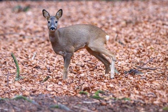 Wilderer haben im Bezirk Grieskirchen ein Reh schwer verletzt, der Jäger musste es von seinen Qualen erlösen (Symbolbild).