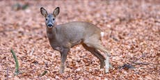 Wilderer verletzt Reh, Jäger muss Gnadenschuss geben