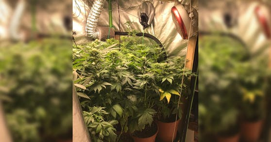 Die Polizei fand 21 Hanfpflanzen in einer offenstehenden Wohnung