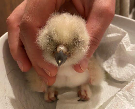 Der kleine Uhu kam am Sonntag zur Welt, wiegt gerade einmal 65 Gramm.