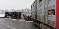 Schweinetransporter kippt um, fünf Tiere sterben