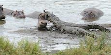 Krokodil schnappt sich Gnu - dann kommt ein Nilpferd
