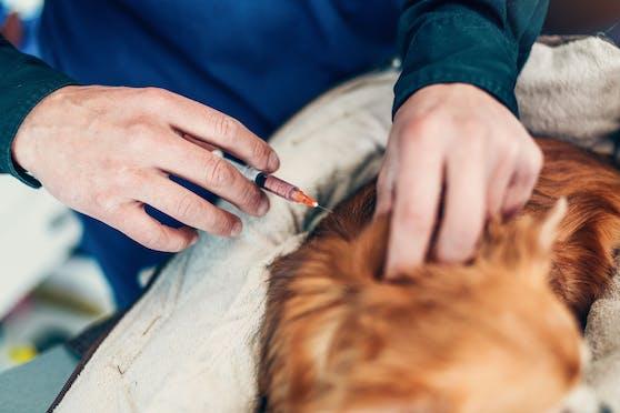 Der Mischlingshund starb nach der Injektion.