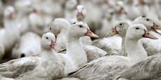 Erstmals Menschen mit der Vogelgrippe angesteckt