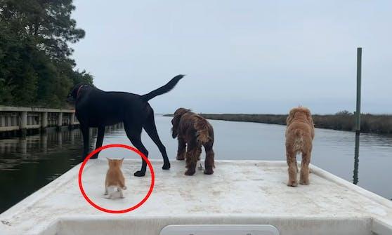 """Der rote Kater """"Marlin"""" wurde von vier Hunden großgezogen und verhält sich auch wie ein Hund."""
