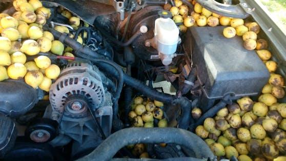 Hier hatte ein Eichhörnchen wirklich ganze Arbeit geleistet. Über 83 Kilogramm Walnüsse waren in jeder Ritze des Trucks gebunkert.