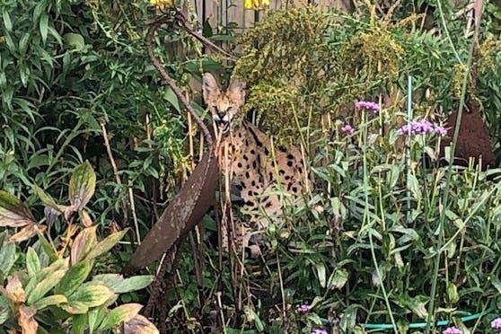 Okay, dieser Serval ist zwar eine Wildkatze, aber natürlich kein Leopard.