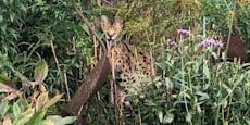 """Notruf: """"Hilfe, in meinem Garten sitzt ein Leopard..."""""""