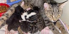 Hier streiten sieben Katzenbabys um Mamas Zitzen