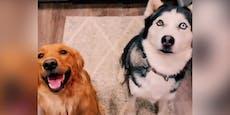 Husky x Goldie – die Welpen machen Frauchen völlig baff