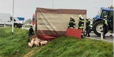 Ferkel-Anhänger umgekippt: Ein Tier hatte kein Schwein