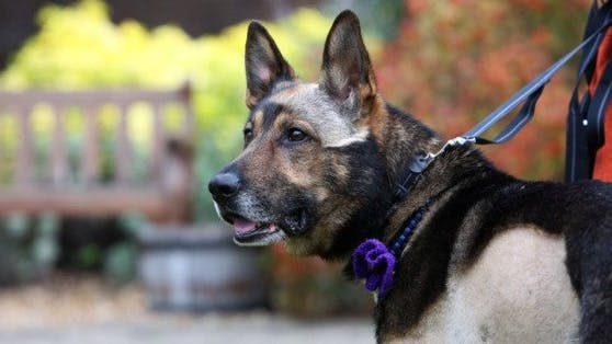 """Polizeihund """"Finn"""" ist in Großbritannien ein wahrer Held - zu Recht."""