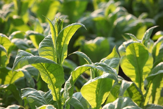 Die Tabakpflanze (Nicotiana benthamiana) kann Antikörper gegen Corona herstellen.