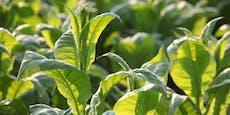 Forscher stellen Antikörper in Pflanzen her