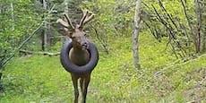 Hirsch lief zwei Jahre mit Reifen um Hals herum