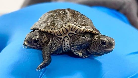 Dieses Schildkrötenbaby ist in vielerlei Hinsicht etwas ganz Besonderes.