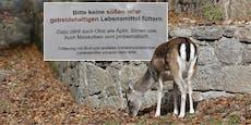 """Zuckerkranke Hirsche werden jetzt auf """"Diät"""" gesetzt"""