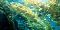 Nachhaltig: Dieser Tampon wird aus Algen hergestellt