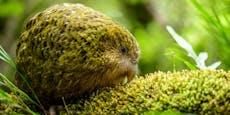 Warum der Kakapo der dümmste Vogel der Welt ist