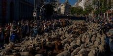Schafe zählen? In Madrid wäre das unmöglich gewesen